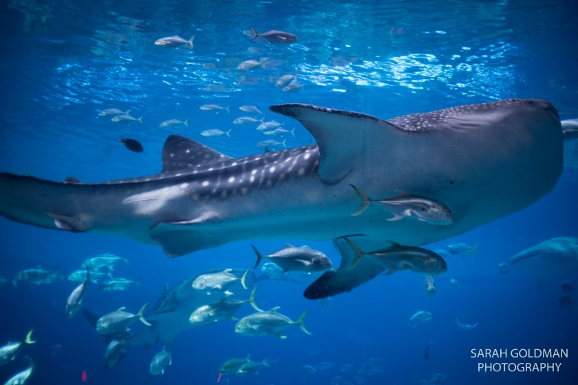 ga aquarium whale shark photo