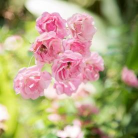 roses in bloom at backyard ceremony