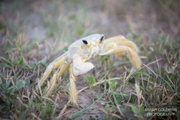 ghost crab at folly beach