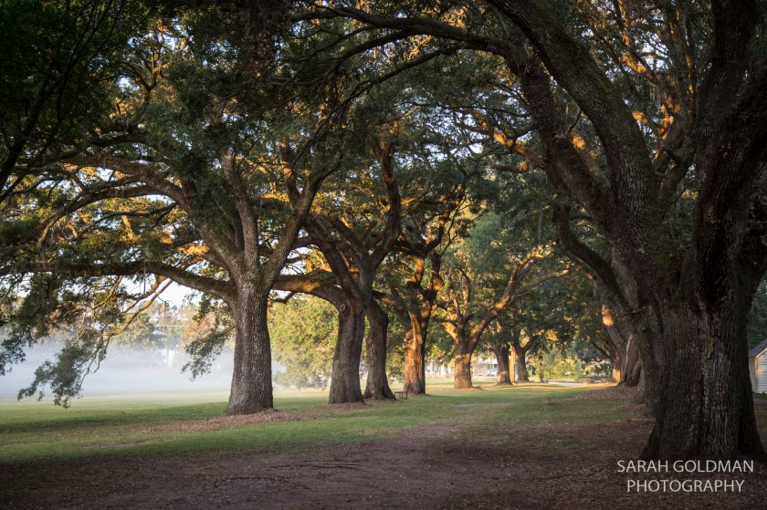 live oak allee at mcleod plantation on james island