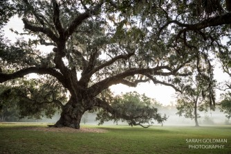 old live oak on charleston plantation