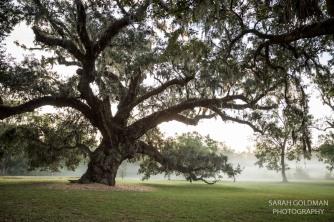 old live oak on charleston plantation