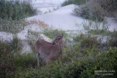 a deer on kiawah island